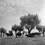 Zuidhollands stamboekrundvee, Cas Oorthuys