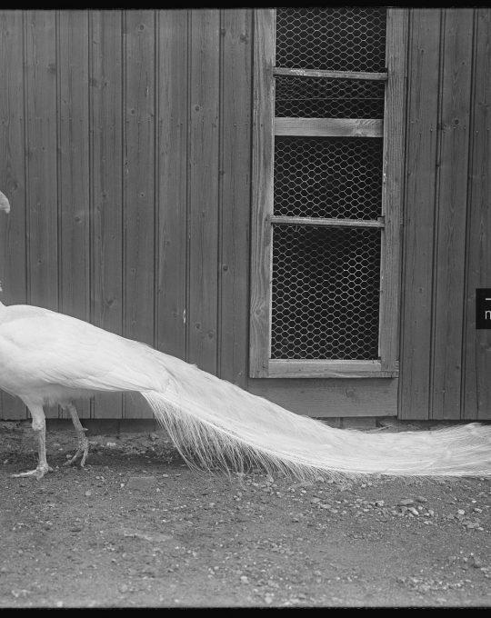 Witte pauw, Richard Tepe