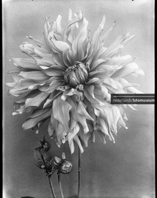 Dahlia Dokaupilov Triumph, Richard Tepe