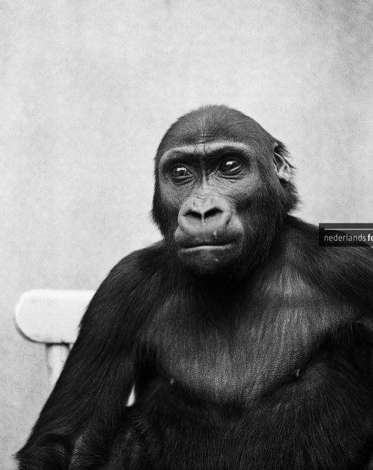 Gorilla, Kees Molkenboer